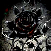 black blood rose