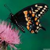 Butterfly-on-a-Thistle